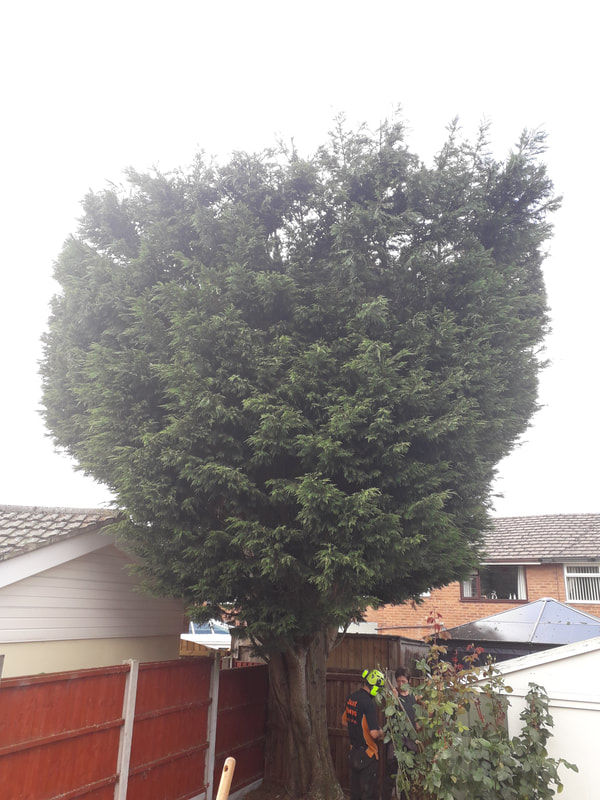 Conifer Reduced and Reshaped in Bolton