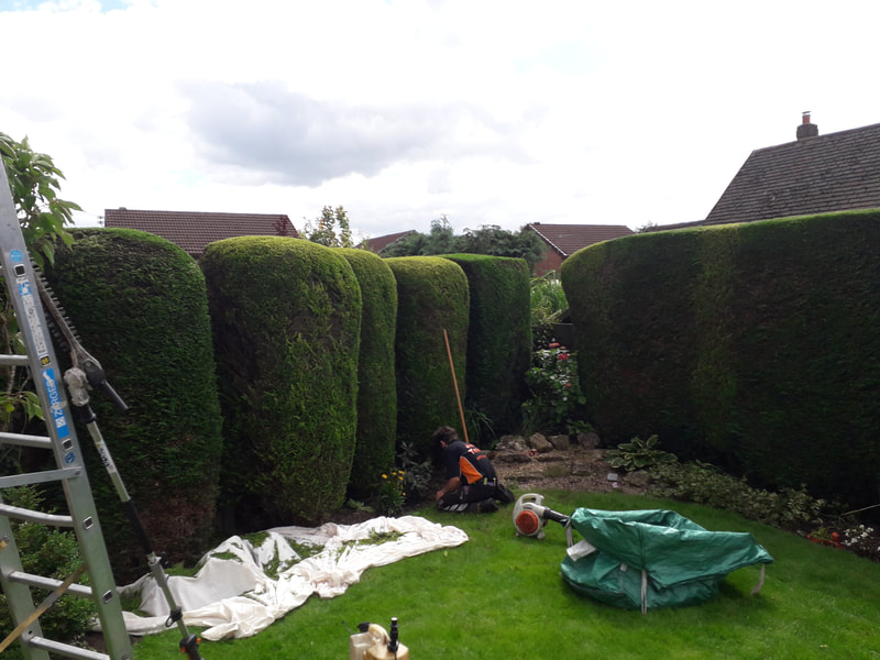 Conifers Trimmed in Bolton