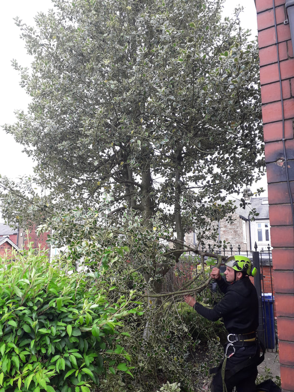 Holly tree removal in Accrington