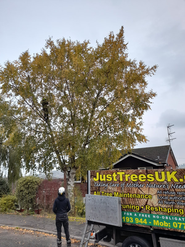 Large Birch Tree Reduction in Farnworth, Bolton