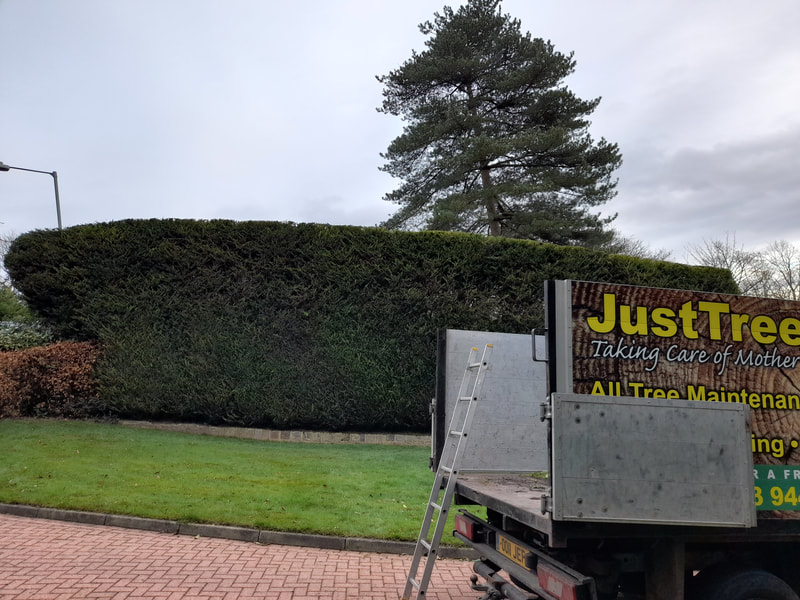 Large Conifer Hedge Trimming in Johnson Fold