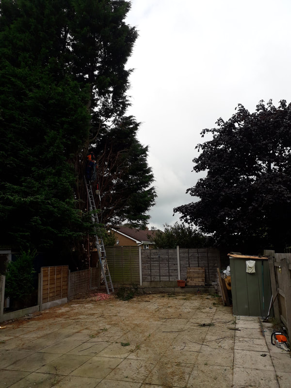 Large Conifers Reduced in Bolton