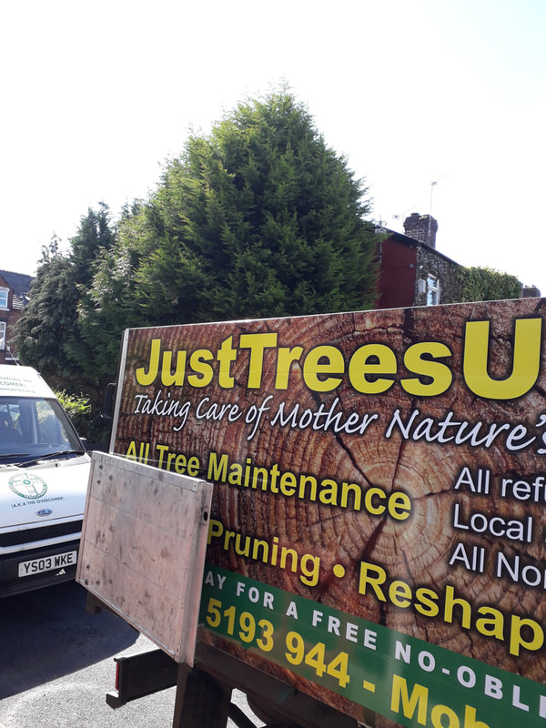 Large Conifers Reduced in Bury
