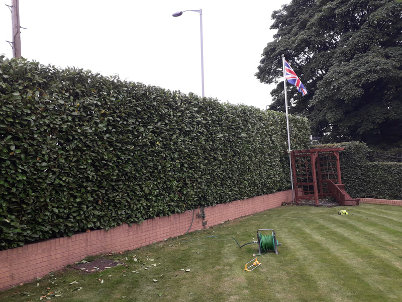 Large Hedge Reshaped in Bolton
