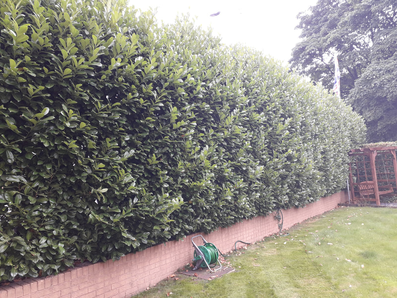 Large Hedge Reshaped in Bromley Cross, Bolton