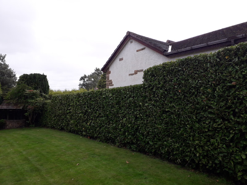 Large Laurel Hedge Trimmed in Bolton