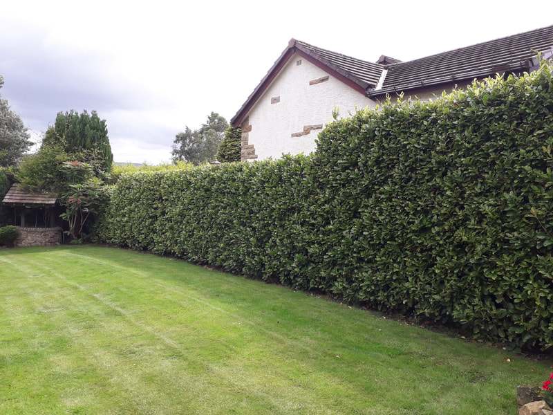 Large Laurel Hedge Trimmed in Bromley Cross, Bolton