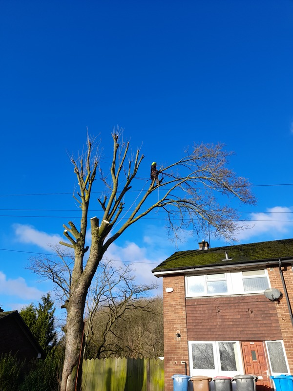 Large Sycamore Tree Removal in Salford