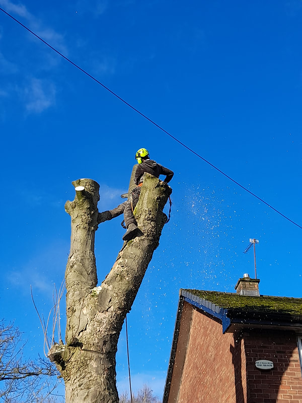 Large Sycamore Tree Removal Salford