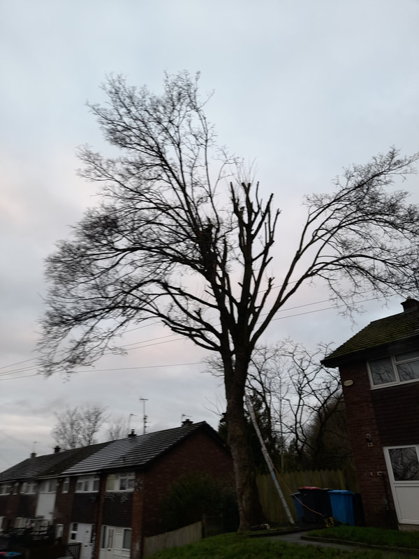 Large Sycamore Tree Removed in Salford