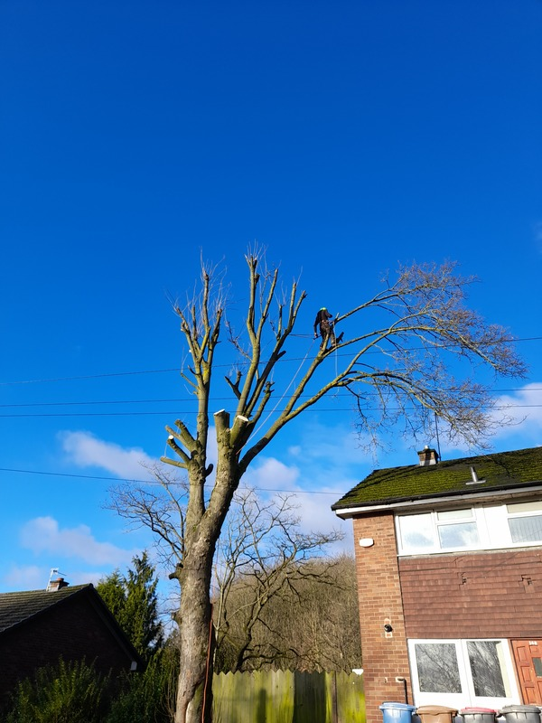 Large Sycamore Tree Removed Salford