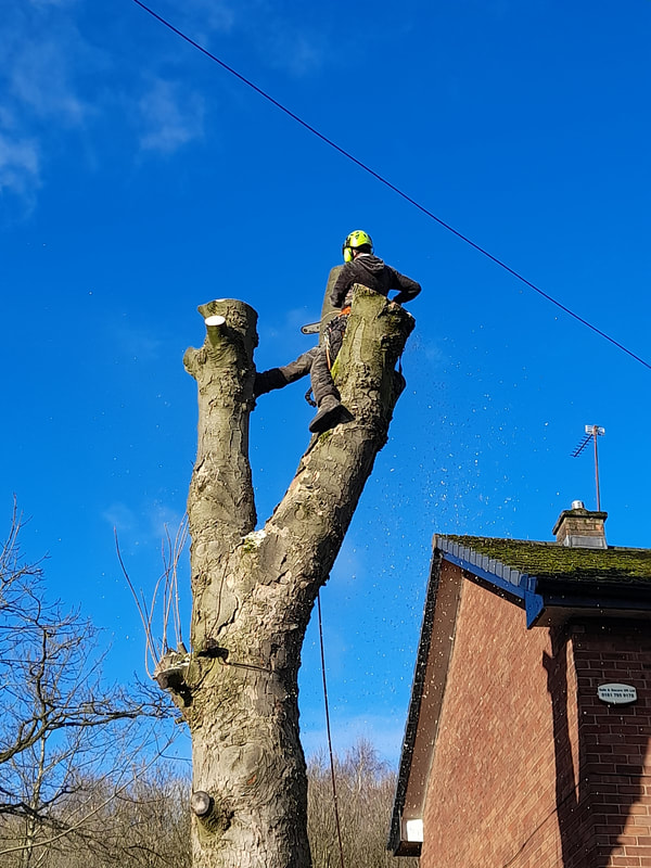 Large Tree Removal Salford