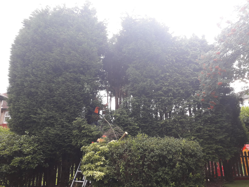 Over Grown Conifers Reduced in Huncoat, Accrington