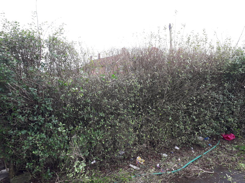 Privet Hedge Reduced and Reshaped in Bolton